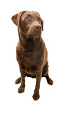 Obedient Labrador Looking Off Camera poster