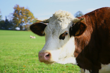 montbeliarde vache