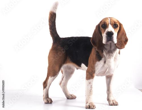 chien de race beagle de trois quart détourable