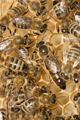 bee-family on the  honeycomb