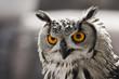 Retrato frontal de un búho. El foco está en los ojos.