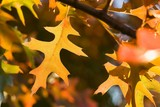Vibrant oak leaves backlit by the setting sun poster