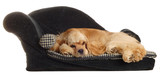 cocker spaniel sleeping on dog bed poster