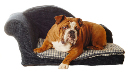 english bulldog on blue dog couch