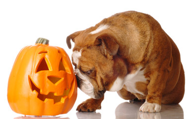 english bulldog with festive cutout pumpkin
