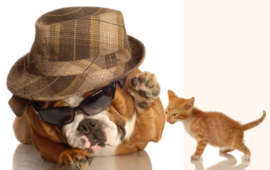 english bulldog in glasses and fedora  and kitten