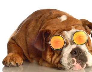 english bulldog wearing glasses with funny people eyes