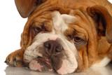 red brindle english bulldog isolated on white background.. poster