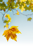 Falling wilted leaf agaist a out of focus tree branch poster
