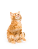 A yellow kitten begging on a white background poster