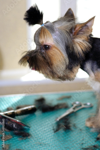 yorkshire terrier. haircut and clipping by Inna Postnikova, Royalty