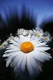 Beautiful daisy at twilight, close-up, wide angle. poster