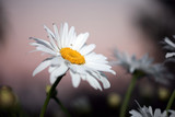 Beautiful daisies at twilight, close-up. poster