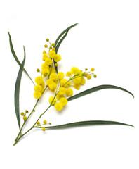 Australian Wattle Blooms
