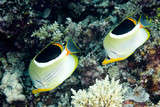 a pair of Saddled Butterflyfish, swimming underwater poster