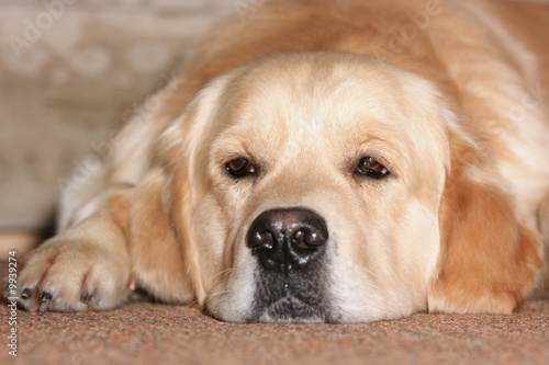Labrador retriever is ill