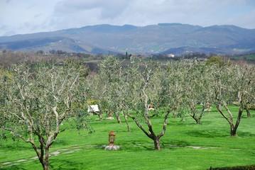 Tuscan Olive Trees