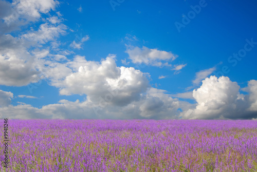 Fototapeta Blossoming field and the blue sky with white clouds