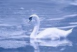 Swan gracefully floating on surface of water poster