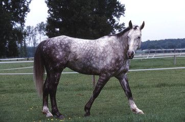 cheval hanovrien au pas