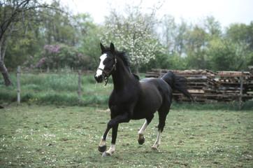 cheval de selle français en train de courrir