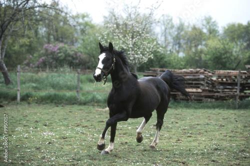 Foto op Canvas Kikker cheval de selle français en train de courrir