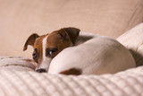 Jack Russell Terrier Dog Sleeps on Pillow poster