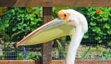 Great white pelican .Pelican is symbol of maternal love... poster