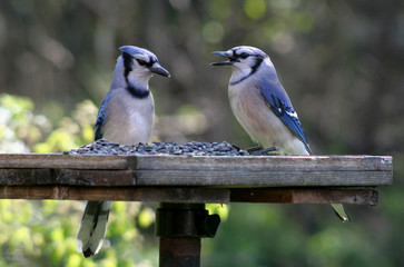Two Feeding Blue Jays