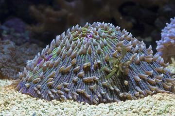 Fungia mit Tentakeln im Meerwasseraquarium