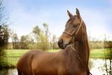 beautiful bay trakhenner stallion poster