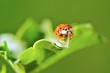Ladybug sitting on a green grass.