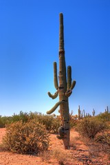 Saguaro cactus in the winter Arizona desert