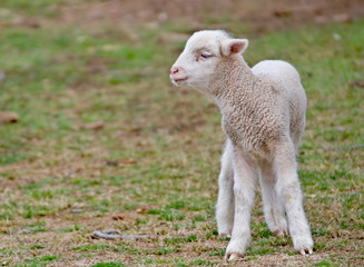 great image of a few day old lamb