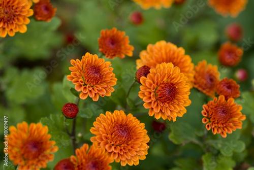 Fiori autunnali 5 immagini e fotografie royalty free su for Immagini fiori autunnali