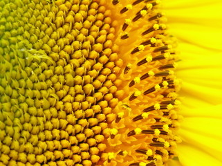 A sunflower flowers.