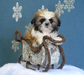 shih tzu puppy in winter sleigh with snow flakes