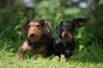 deux teckels à l'oreille tendue
