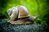 Closeup of snail, crawling in nature on stone poster