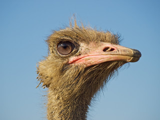 Profile of ostrich face
