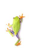 winner frog macro - a red-eyed tree frog (Agalychnis) poster