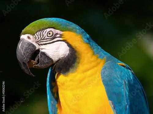 Gelbbrustara einer der schönsten Papageien