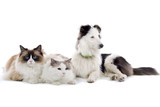 two cats and a shetland sheepdog isolated on white poster