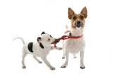 jack russell terrier dog and a jack russell terrier puppy poster