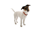 jack russell terrier dog poster