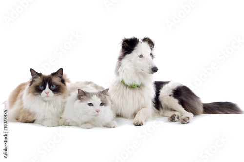 two cats and a shetland sheepdog isolated on white