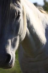 portrait de cheval camarguais