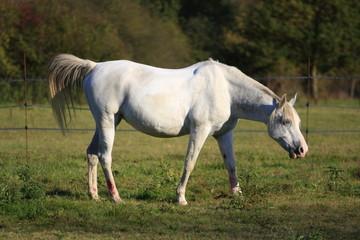 cheval camarguais dans son enclos