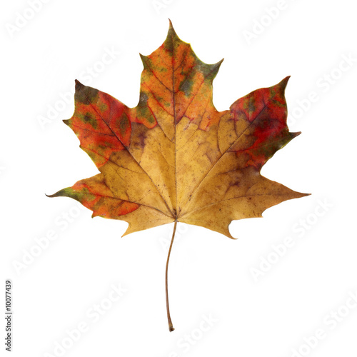 Maple Leaf isoladet on white