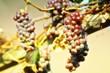Vine of grapes under the sun.